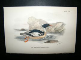 Allen 1890's Antique Bird Print. Red-Breasted Merganser